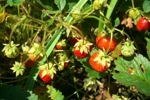 4 причины деформации садовой земляники