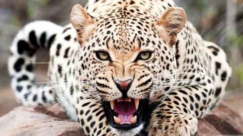 ВИндии леопард парализовал …