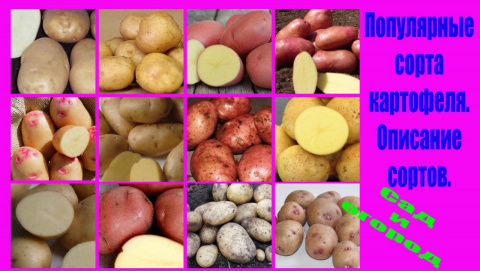 Популярные сорта картофеля. Описание сортов. Подробнее смотрите видео здесь