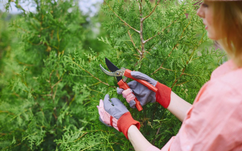 Как размножить тую черенками летом и осенью – подробная инструкция