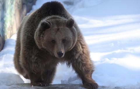 В Иркутской области медведь …
