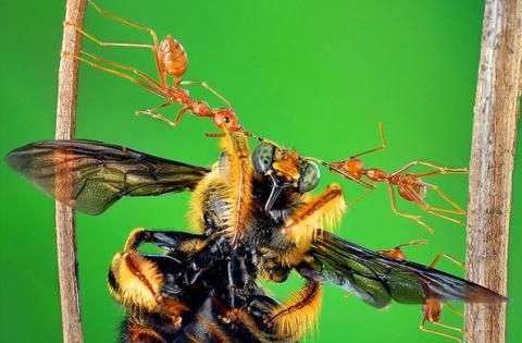Фотограф показал «суперсилу» муравья
