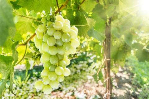 Андрей Туманов советует подружиться с виноградом