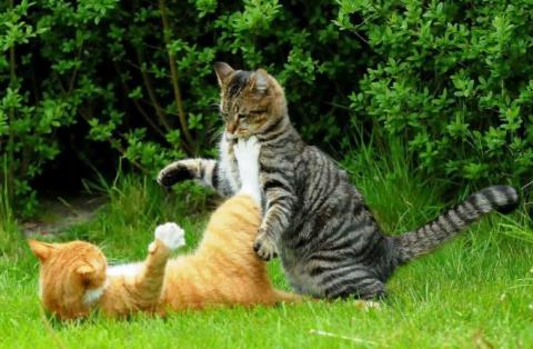 Почему кошки не ладят?
