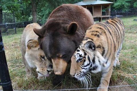 Медведь, Лев и Тигр - друзья по несчастью, которым отлично живется вместе