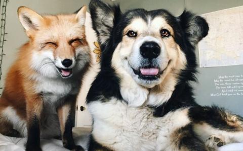 Лиса и собака – лучшие друзья!