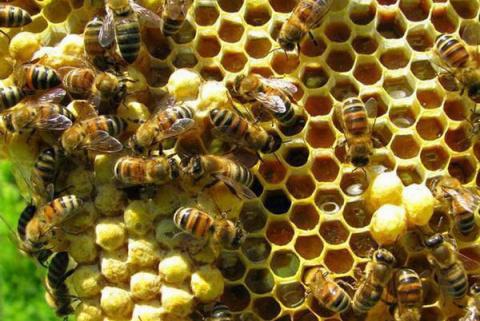 Это интересно знать — как пчелы делают мед