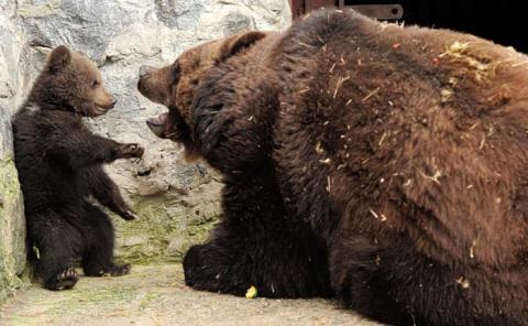 Медвежонок получает взбучку