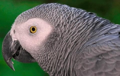 Лондонский попугай размещает…