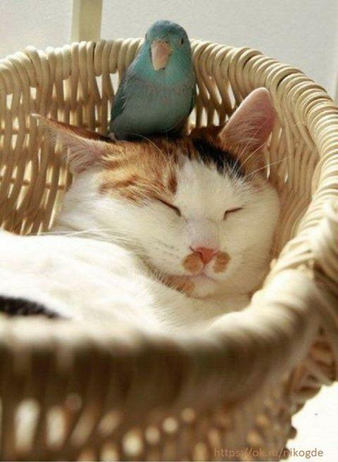Честный ответ на вопрос, почему кот так мил с домашним попугаем. А все просто...