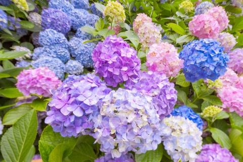 Три цвета гортензии. Как выбрать и эффектно разместить саженцы в саду