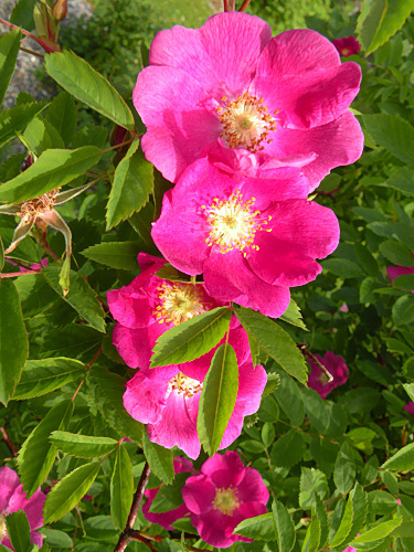 Неукрывные розы.