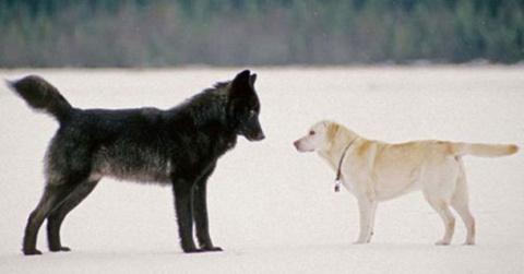 Хозяин в ужасе смотрел, как волк приближался к его собаке. То, что произошло потом, похоже на сюжет кинофильма