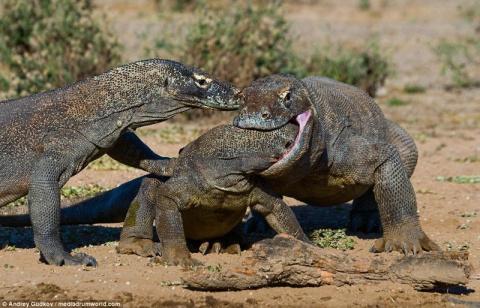 Комодские вараны - драконы наших дней