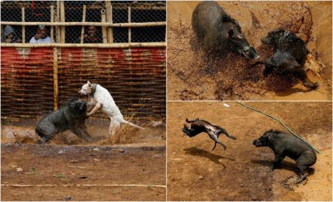 Жесткие бои кабанов vs собак в Индонезии