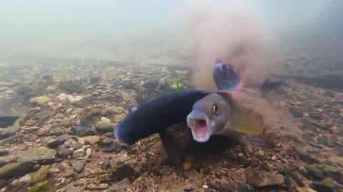 Рыбий ОРГАЗМ. Секс у рыб