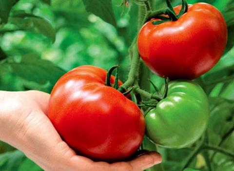 Как сделать помидоры сладкими