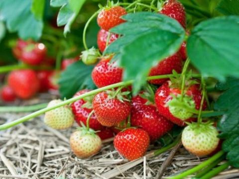Как сажать клубнику в августе, чтобы не беспокоиться об урожае в следующем году