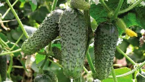 Огурцы в августе: как подкормить, боремся от мучнистой росой