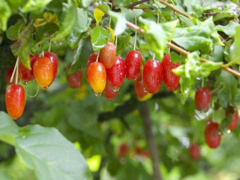 Гумми – растение долголетия