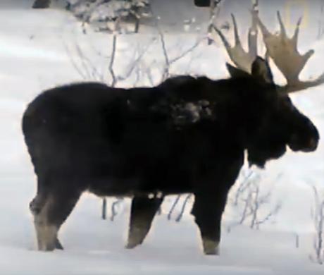Камера поймала момент, когда лось скидывал рога