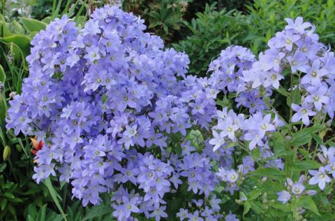 Какие растения цветников нельзя пересаживать и делить