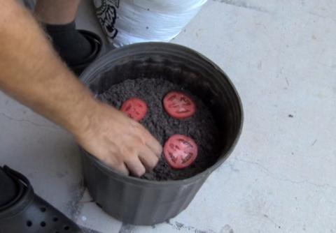 Он положил 4 ломтика помидора в ведро с почвой...