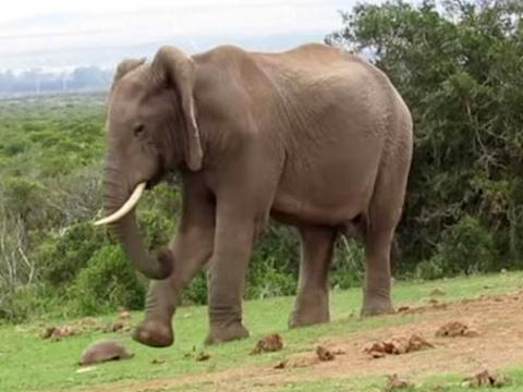 Слон сыграл в футбол черепахой