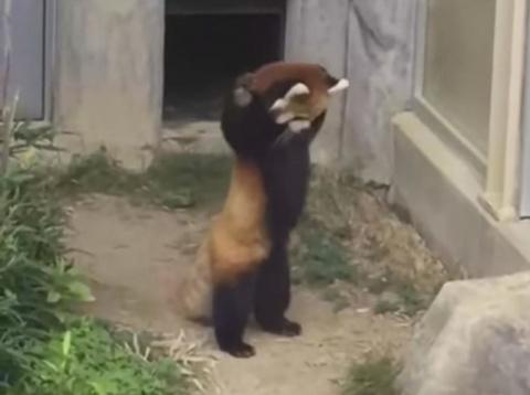 Забавная реакция красной панды на увиденный камень