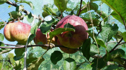 Яблоня «Медуница». Посадка, …