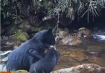 Трусливый очковый медвежонок прославился на YouTube