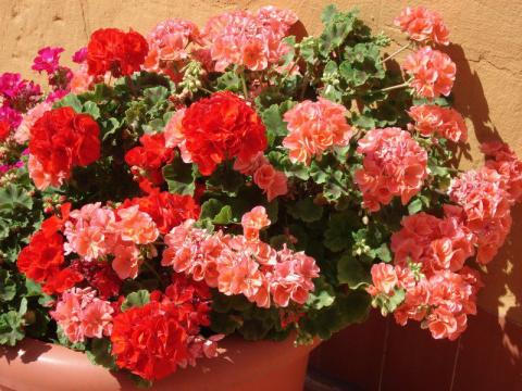 Для пышного цветения герани …