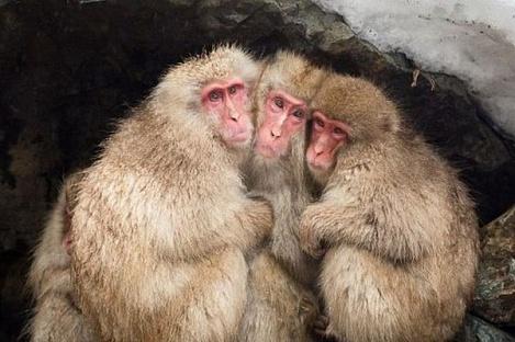 Десятки «генетически нечистых» макак убиты в Японии