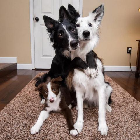 Известные «собаки-обнимаки» принимают в семью нового члена