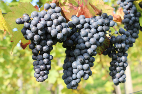 Как легко и эффективно размножить виноград на даче