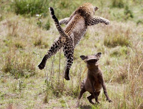 Виртуозы охоты — летающий леопард