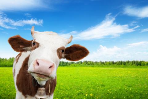 Диковинная история: как в Челябинской области по ДНК корову нашли