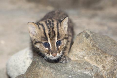 В зоопарке Денвера впервые родился детеныш кошки-рыболова