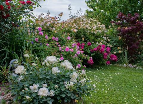 Моя роза белая мейдланд цветет с мая до ноября