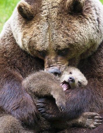 Материнская нежность по-медв…