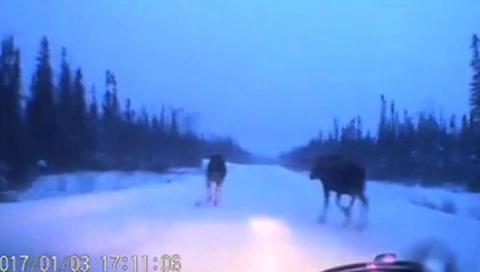 "Канадец ""проскочил"" между двумя лосями"