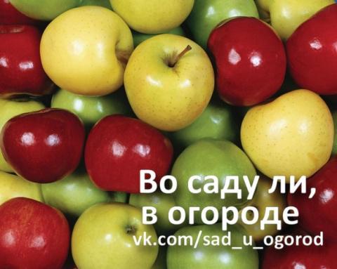 Как сохранить яблоки в квартире.
