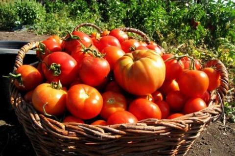 Как заставить поскорее созреть овощи в Средней полосе