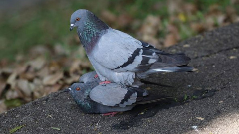 А как птицы сексом занимаются? Ну вот голуби, например?