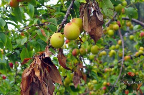 Болезни вишни и борьба с ними – спасаем вишневый сад!