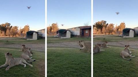 Молодые львы устроили охоту на дрон
