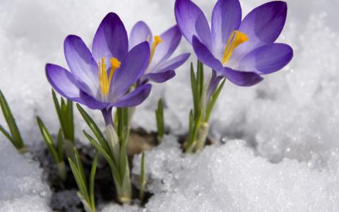 Крокус - цветок богини утренней зари. Опыт выращивания