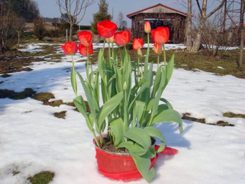 Выгонка тюльпанов зимой - личный опыт