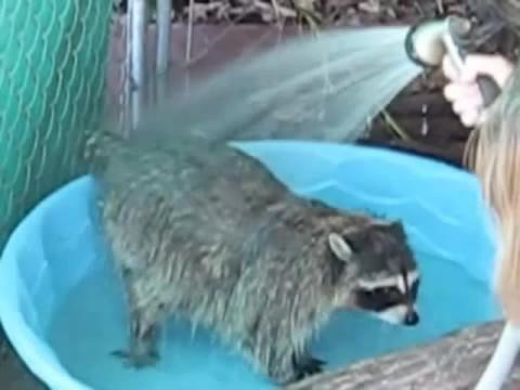 Неиссякаемый восторг — так принимать душ могут только еноты. Просто душа радуется, глядя на зверюшку