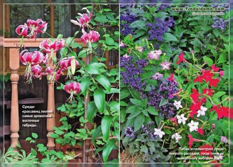 Ароматные растения и цветы д…